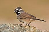 Black-throated Sparrow (Amphispiza bilineata), Arizona, USA