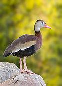 Black-bellied Whistling Duck (Dendrocygna autumnalis), Arizona, USA