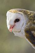 Western Barn Owl (Tyto alba), Arizona, USA