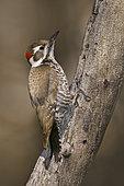 Arizona Woodpecker (Leuconotopicus arizonae), Arizona, USA