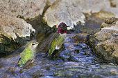 Anna's Hummingbird (Calypte anna), Arizona, USA