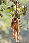 White-handed Gibbon (Hylobates lar) hanging in tree, Kaeng Krachan National Park, Thailand
