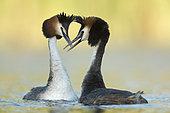 Great Crested Grebe (Podiceps cristatus) pair displaying, North Rhine-Westphalia, Germany