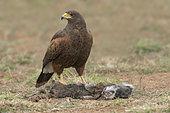 Harris's Hawk (Parabuteo unicinctus) perched on the ground at a carcass, Texas, USA