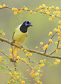 Green Jay (Cyanocorax luxuosus) perched on a flowering branch, Texas, USA