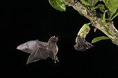 Pallas' Long-tongued Bat (Glossophaga soricina), foraging at calabash tree flower, Costa Rica
