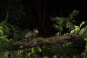 Common Opossum (Didelphis marsupialis) in rainforest at night on tree trunk, Bosque de Paz Cloud Forest Reserve, Costa Rica