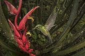 Brillant impératrice (Heliodoxa imperatrix) butinant un Heliconia en vol, Mashpi Lodge, Equateur