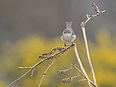 Willow Warbler Phylloscopus trochilus Forsinard RSPB Reserve Northern Scotland May