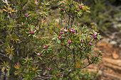 Pink mountain berry (Cyathodes parvifolia), Hartz Mountains National Park, Tasmania, Australia