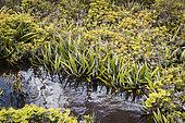 Pineapple grass (Astelia alpina), Hartz Mountains National Park, Tasmania, Australia