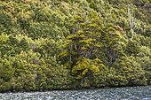 Pencil Pine (Athrotaxis cupressoides), Hartz Mountains National Park, Tasmania, Australia