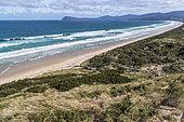 Site de nidification du Manchot pygmée (Eudyptula minor) Bruny island, Tasmanie, Australie