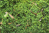 Liverwort (Hymenophyton flabellatum), Bruny Island, Tasmania, Australia