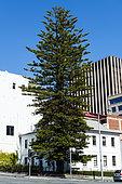 Norfolk Island Pine (Araucaria heterophylla) in town, Hobart, Tasmania, Australia