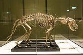 Skeleton of Thylacine (Thylacinus cynocephalus), Hobart Museum, Tasmania, Australia