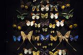 Naturalized Butterflies, Hobart Museum, Tasmania, Australia