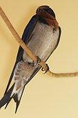 Hirondelle d'Angola (Hirundo angolensis), Gabon