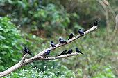 White-bibbed swallow (Hirundo nigrita) group on a branch, Gabon