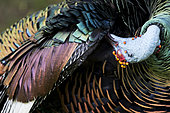 Dindon ocellé (Meleagris ocellata) mâle lissant son plumage, Peten, Guatemala