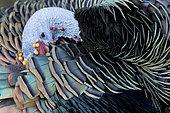 Ocellated Turkey (Meleagris ocellata) male preening, Peten, Guatemala