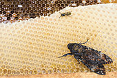 Death's Head Hawk-Moth (Acherontia atropos) sitting on honeycomb, Baden-Wuerttemberg, Germany