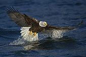 Bald Eagle (Haliaeetus leucocephalus) hunting, Alaska, USA