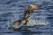 Bald Eagle (Haliaeetus leucocephalus) with fish in claws, Alaska, USA