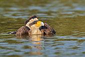Southern Crested Caracara (Caracara plancus) bathing, Brazil