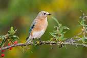 Eastern Bluebird (Sialia sialis) female perched on a branch, Texas, USA