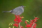 Grey Catbird (Dumetella carolinensis) feeding on red berries, Texas, USA