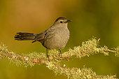 Grey Catbird (Dumetella carolinensis) perched on a mossy branch, Texas, USA