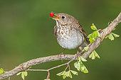 Grey-cheeked Thrush (Catharus minimus) feeding on red berry, Texas, USA