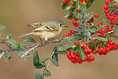 Ruby-crowned Kinglet (Regulus calendula), Texas, USA