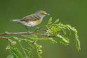White-eyed Vireo (Vireo griseus) perched on a branch, Texas, USA
