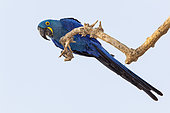 The hyacinth macaw (Anodorhynchus hyacinthinus) is a parrot native to central and eastern South America, it is the largest macaw and the largest flying parrot species, Vulnerable. Pantanal, Mato Grosso, Brazil
