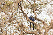 Couple of hyacinth macaw (Anodorhynchus hyacinthinus) is a parrot native to central and eastern South America, it is the largest macaw and the largest flying parrot species, Vulnerable. Pantanal, Mato Grosso, Brazil