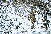 Black and gold Howler monkey (Alouatta caraya), on a tree, Pantanal wetlands, Mato Grosso, Brazil