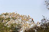 Red-and-green Macaw (Ara chloropterus), Buraco das Araras, Bonito, Mato Grosso do Sul, Brazil