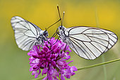 Black-veined White (Aporia crataegi) on flower, France