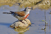 Eurasian linnet (Acanthis cannabina) drinking in a puddle, France