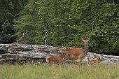 Red Deer (Cervus elephus), hind and fawns, Dyrehaven, Denmark