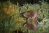 European Beaver (European Beaver) on a riverbank, Biebrza National Park, Poland