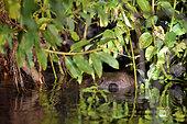 European Beaver (European Beaver) swimming in a river, Biebrza National Park, Poland
