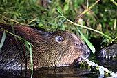 European Beaver (European Beaver) eating a branch in a river, Biebrza National Park, Poland