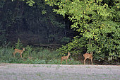 Roe deer (Capreolus capreolus) female and her two fawns, Secondary arm of the Loire, Charité-sur-Loire, France