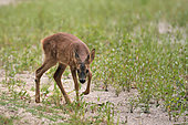 Roe deer (Capreolus capreolus) fawn intrigued by camera triggers, Secondary arm of the Loire, Charité-sur-Loire, France