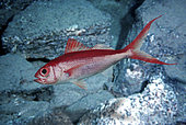 Etelis coruscans, Deepwater longtail red snapper, long-tailed form. Adults inhabit rocky bottoms of the continental shelf and continental slope from 40 to 400 m deep. Highly valued for the quality of its flesh. It's a slow-growing and late to mature, taking an estimated 5 to 6 years to reach maturity. There are two morphs present in this species: long-tailed and short-tailed forms. The caudal-fin length may be sexually dimorphic. From Madagascar - Composite image