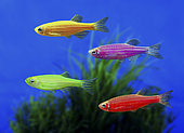 GloFish Zebrafish (Danio rerio), in diverse color versions. Although not originally developed for the ornamental fish trade, it is one of the first genetically modified animals to become publicly available. These fluorescent fishes were developed with a gene that encodes the green fluorescent protein from a jellyfish. The gene was inserted into a zebrafish embryo, allowing it to integrate into the zebrafish's genome, which caused the fish to be brightly fluorescent under both natural white light and ultraviolet light. Their goal was to develop a fish that could detect pollution by selectively fluorescing in the presence of environmental toxins. USA