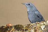 Blue rock Thrush (Monticola solitarius) male on rock, Cordoba, Spain